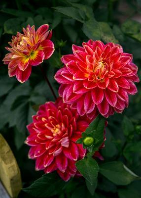 Три цветочка. георгины
