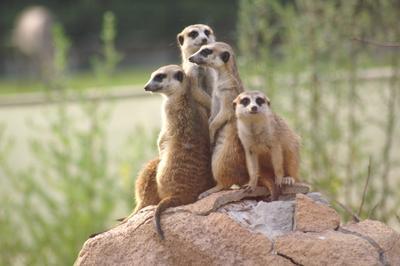 Банда сурикатов сурикаты, зоопарк, группа