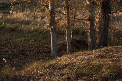 Тополиная осень дерево тополь листья осень природа пейзаж вечер