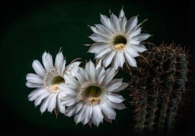 Любимая колючка. цветы макро
