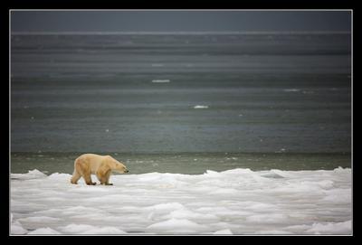 Hudson Bay Белый медведь Канада Churchill