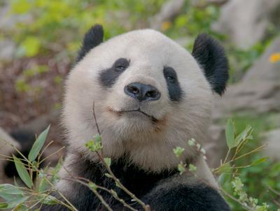 Жизнь удалась панда животные бамбук медведь зоопарк