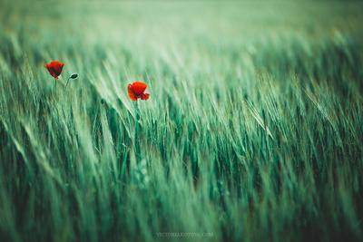 *** poppies summer лето маки поле