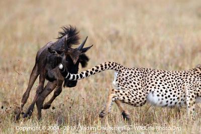 Смена ролей атакует гепарт гну масай мара онищенко фото сафари кения