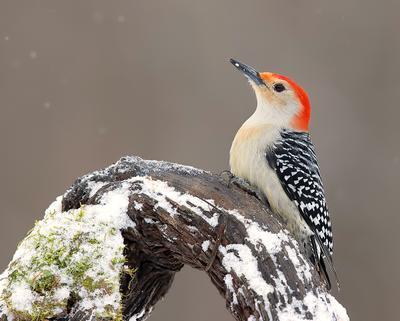 Red-bellied Woodpecker male - Cамец. Каролинский меланерпес