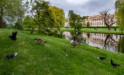Канадский гусь - хозяин парка... Лондон Риджентс-Парк