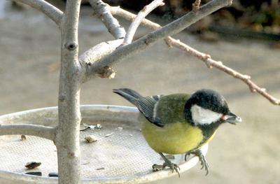 Синичкам голодно... Весна птицы кормушка синица
