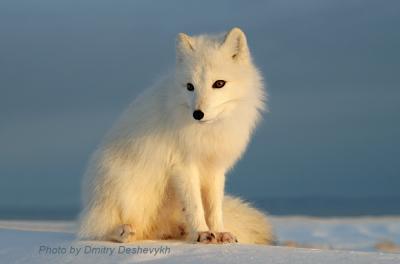 На фоне моря. песец зима снег Арктика