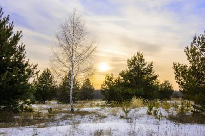 Одна среди... пейзаж природа зима вечер закат берёза сосны поле солнце
