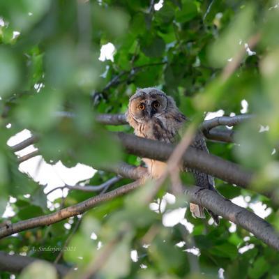 Совёнок в листве птицы сова птенец природа