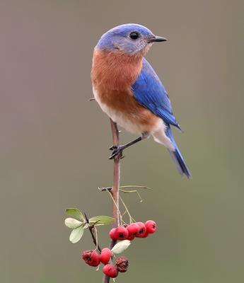 Восточная сиалия cамец - Eastern Bluebird male