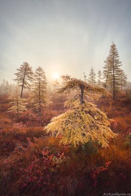 """""""Лиственничный бонсай"""" Колыма Дальний Восток Магаданская область озеро Джека Лондона краски осени осень"""