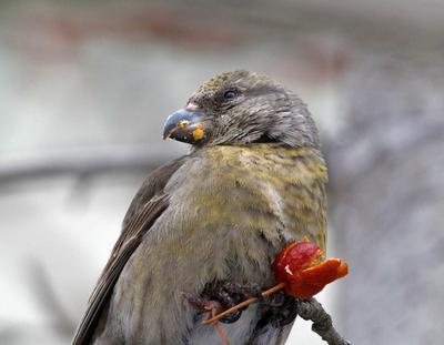 За  милых  дам... птицы клёст самка
