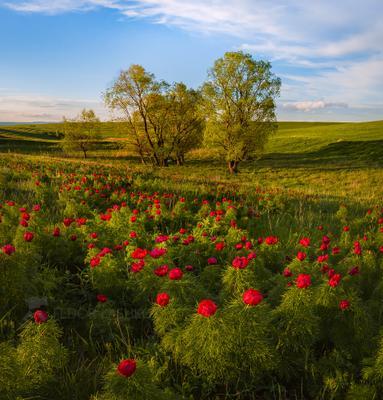 Пионы в степи Ставропольский край открывая Ставрополье путешествие природа степь трава луг флора пион воронец узколистный красный Ставропольская возвышенность дерево весна
