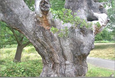 Дуб и зайчик июль Англия Кингстон-на-Темзе Ричмонд-парк старый дуб зайчик