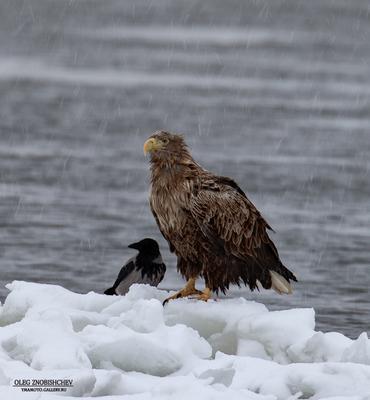 Непогода... Орлан белохвост река Волга Астрахань