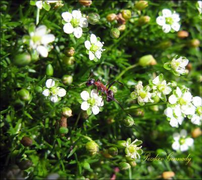 Что там на второе? макро муравей солнце цветы