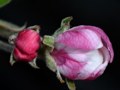Будущее яблоко цветы макро