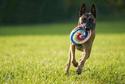 Фрисби 4 Собака Собакен Малинуа Бельгийскаяовчарка Овчарка Фрисби диск тарелка SAL-70200G2