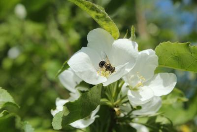 *На цветке* Цветок пчела листья