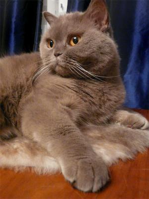 хозяйка кошка, британская