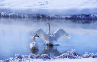 Лебединое озеро. природа лебеди
