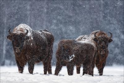 Let It Snow ... Беларусь Красный бор зубры фотоохота зима let it snow