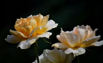 Ароматы — это чувства цветов роза розы цветы природа лето