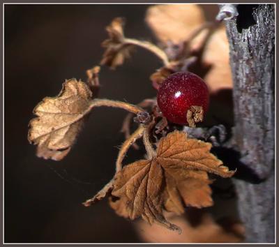 Осень. Последняя ягодка Осень смородина