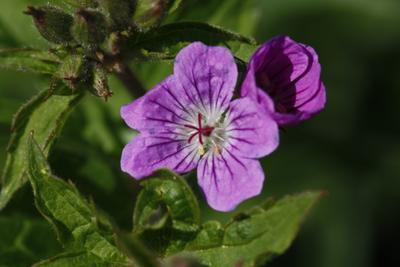 Розовая барышня Цветы луг лето природа макро поляна растение цветение опыление