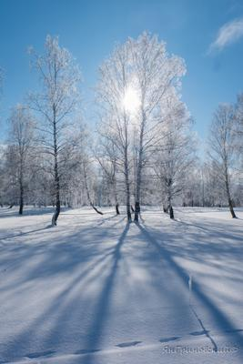 *** березы зима иней
