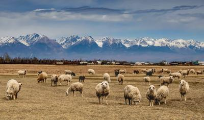 Любопытные и пугливые. Долина овцы снежные горы
