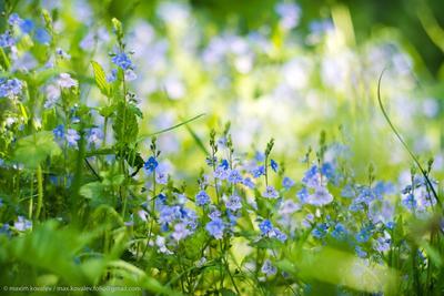 Ждём весну с осени / We are waiting for spring from autumn blue flower grass green nature park plant голубой зелёный парк природа растение трава цвет цветок цветы