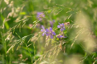 *** герань закат полевые цветы природа растения цветение красота