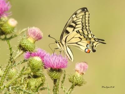 Махаон Фотоохота природа бабочки лето Махаон