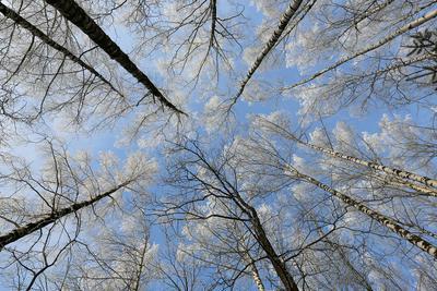 Хрустальные деревья. лес деревья зима природа