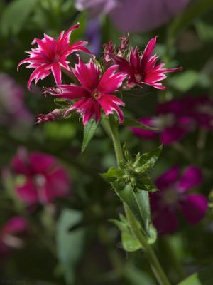 Флокс Друммонда (Phlox Drummondii). флоксы цветы растение друммонда Phlox Drummondii