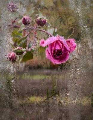 И заглянула осенью в моё окошко роза... роза дождь осень