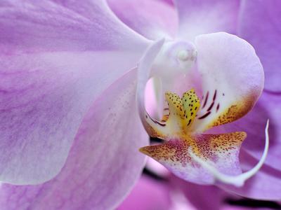 *** макро цветок орхидея