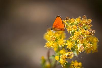 Маленькая фея Бабочка червонец огненный природа насекомые макро жёлтый цветы