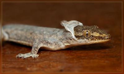 Ноги, крылья... Чешуя! геккон линька чешуя