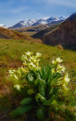 Первоцветы в горах Дагестана Кавказ Дагестан Чирагчай берег реки Агульский район горы 2550 снежные вершины весна первоцветы примула