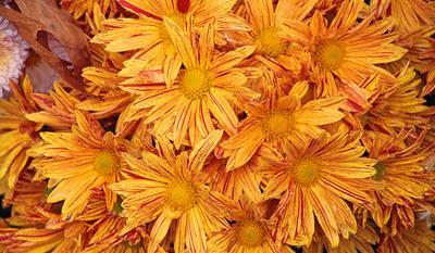 Хризантемы, осень, дождь