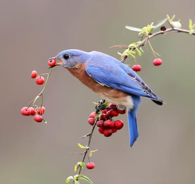 Eastern Bluebird male. Восточная сиалия.  Любитель ягод