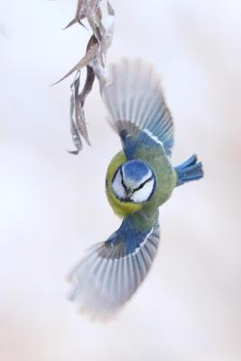 Пируэт лазоревка