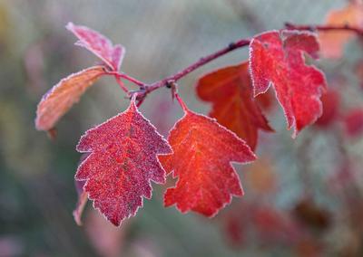 Дохнуло холодом. иней листик красный ветка