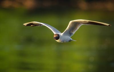 Озёрная чайка Птицы Озёрная чайка в полете