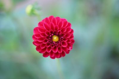 dahlia. dahlia, flowers,