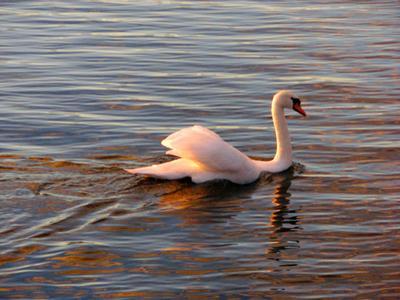 Лебедь в розовом лебедь