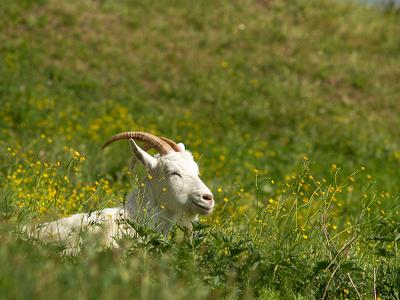 Наконец-то лето Лето цветы козел